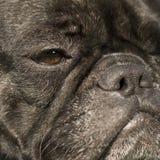 french buldoga Zdjęcie Royalty Free