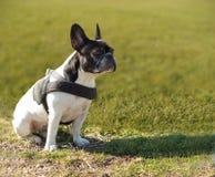 French bull dog Stock Photo