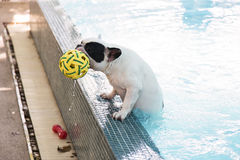French Bull dog in pool Stock Image