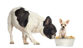 French Bull dog sniffing at a Chihuahua puppy in a bowl, isolate Stock Photos