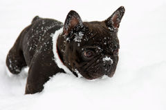 French bull dog in snow Royalty Free Stock Photography