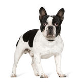 French Bulldog (1 year) Royalty Free Stock Photography