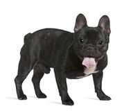 French bulldog, 1 year old, standing Royalty Free Stock Photography