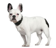 French bulldog, 10 months old, standing Stock Photo