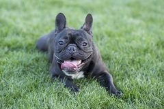 Free French Bulldog Royalty Free Stock Photo - 117011535