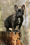 French bulldog. Young french bulldog sitting on a tree stump Royalty Free Stock Image