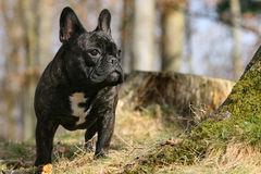 French bulldog. Frontal close-up of a standing young French bulldog Stock Images