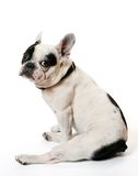 The French bulldog Stock Images