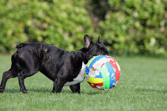 French bulldog. Close-up of a young brown Frenchy playing soccer Royalty Free Stock Image