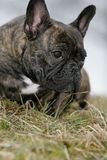 French bulldog. Close-up of a young brown Frenchy lying in grass and looking curious Stock Photos