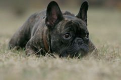 French bulldog. Close-up of a young brown Frenchy Stock Images