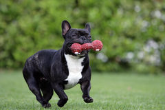 French bulldog. Close-up of a young brown Frenchy fetching a dog-toy Royalty Free Stock Photos