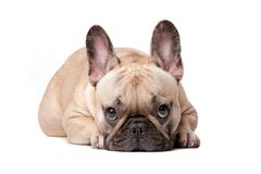 French Bulldog. Front view of cute french bulldog lying and looking at camera, isolated on a white background Royalty Free Stock Photos
