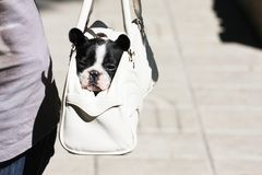 French bulldog. Small breed of french buldog Stock Images