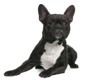 French Bulldog, 18 months old, lying Stock Photo