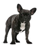 French Bulldog, 18 months old, standing Royalty Free Stock Photo