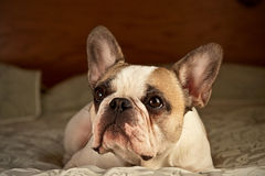 French Bulldog. A french bulldog lying on a bed Royalty Free Stock Image