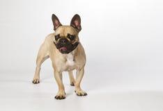 French Bulldog. Black Masked French Bulldog standing Stock Photo