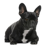 French Bulldog, 2 years old, lying Royalty Free Stock Photo