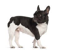 French Bulldog, 2 years old, standing Stock Images
