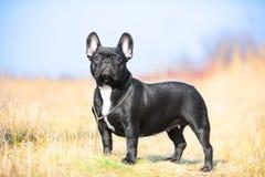 French Bulldog Stock Photos