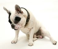The French bulldog Stock Photography