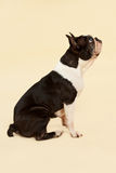 French bulldog. Royalty Free Stock Photography