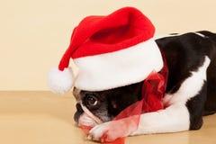 French bulldog. Royalty Free Stock Images