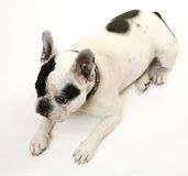 The French bulldog Stock Photo