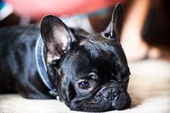 French Bulldog. Laying on a white carpet Royalty Free Stock Photography