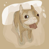 French bulldog Stock Image
