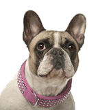 French Bulldog, 4 years old Stock Photography