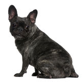 French Bulldog, 4 years old, sitting Stock Photo