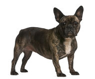 French bulldog, 4 years old, standing Stock Photos