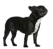French Bulldog, 6 years old, standing Stock Photos
