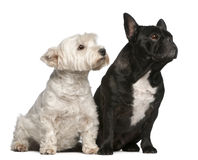 French Bulldog, 6 years old and West Highland Stock Photos
