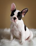 French Bulldog. Puppy poses with a inquistive look.  Family pet Royalty Free Stock Photos
