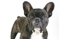 French Bulldog. A French Bulldog isolated against a white background Royalty Free Stock Images