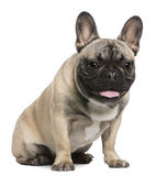 French Bulldog, 8 months old, sitting Stock Images