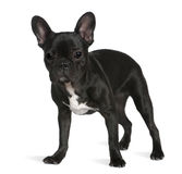 French bulldog, 8 months old, standing Royalty Free Stock Photo