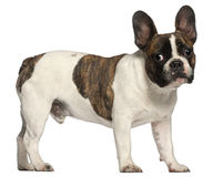 French Bulldog, 8 months old, standing Royalty Free Stock Images