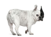 French bulldog, 8 years old Royalty Free Stock Photo