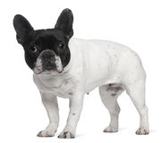French Bulldog, 8 years old, standing Stock Image