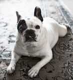 French Bulldog. Lies down with legs splayed out like a frog Stock Photography