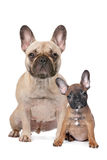 French Bulldog adult and puppy. In front of a white background Royalty Free Stock Image