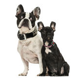 French Bulldog adult and puppy looking away, 3 months old Royalty Free Stock Photos