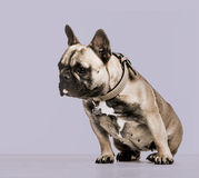French Bulldog against a purple background Royalty Free Stock Image