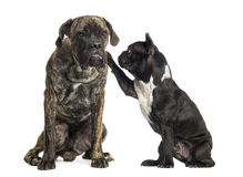 French bulldog annoying a Cane Corso sitting, isolated Stock Images