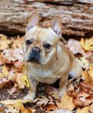 French Bulldog with Autumn Leaves. Stock Photos