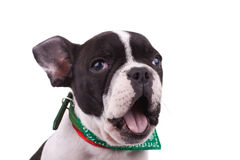 French bulldog barking Stock Photos